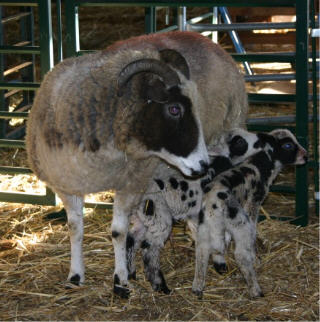 web-aimee-and-lambs.jpg