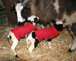web-isabels-lambs.jpg