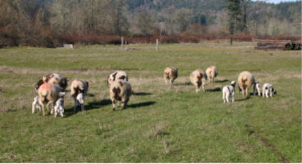 web-ewes-and-lambs.jpg