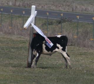 cow-2.jpg
