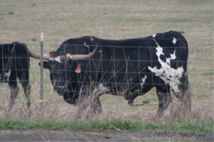 cow-4.jpg