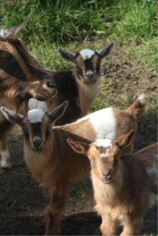 web-baby-goats.jpg