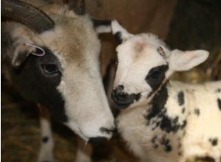 web-celeste-and-lamb