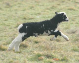 web-lambs-3