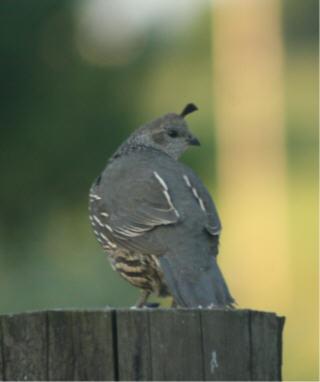 web quail 3
