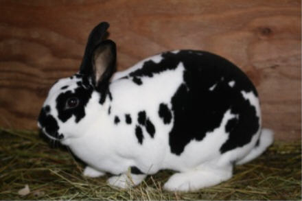 Black And White Mini Rex Rabbits They are mini rex s Black Mini Rex Rabbits