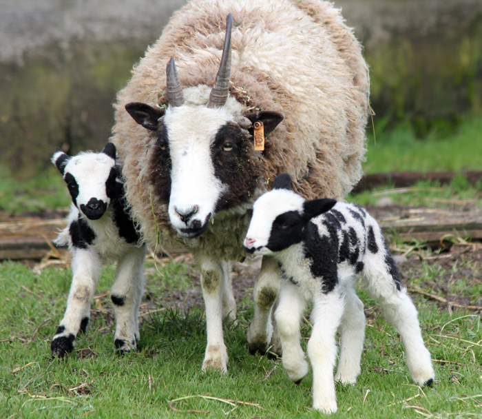 Lambing | Stories from the Farm