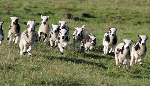 web-lambs-2