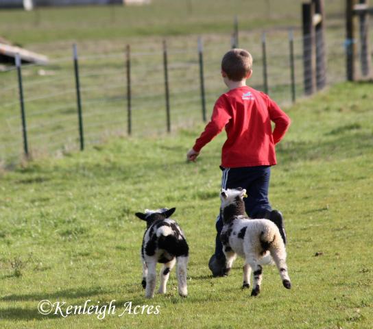 web-soccer-lambs-3