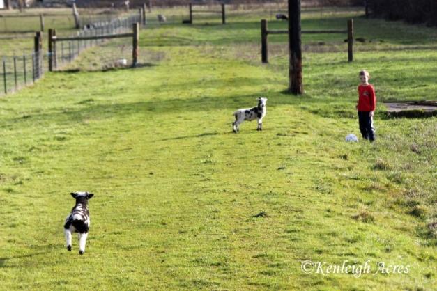 web-soccer-lambs-4