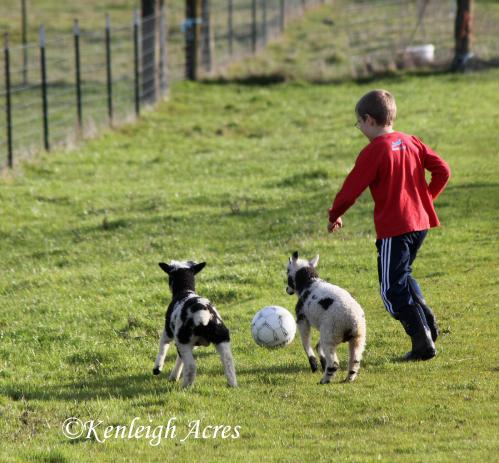 web-soccer-lambs-5