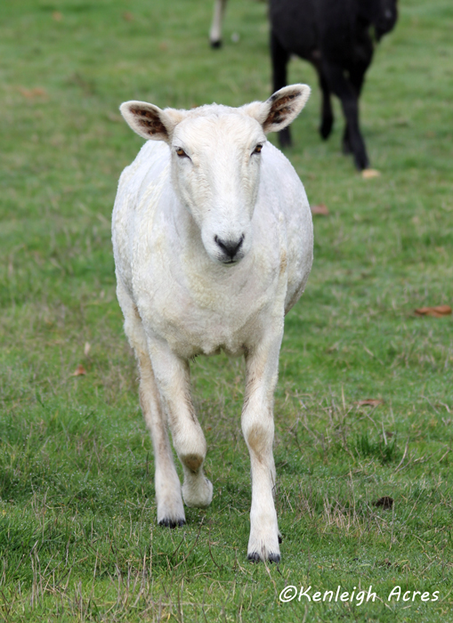 web-shearing-13