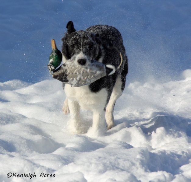 web-dogs-in-snow-20