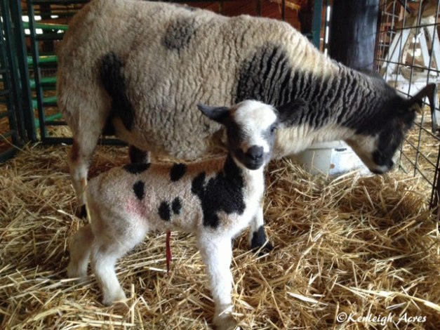 Mollala-lamb
