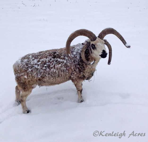 web-snow-sheep-1