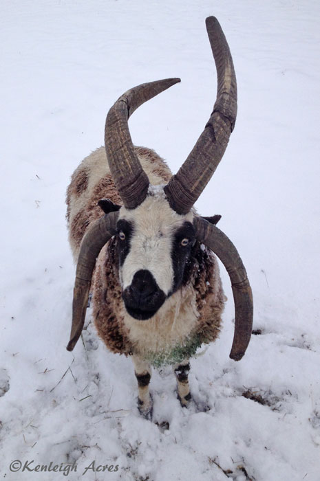 web-Snow-sheep-3