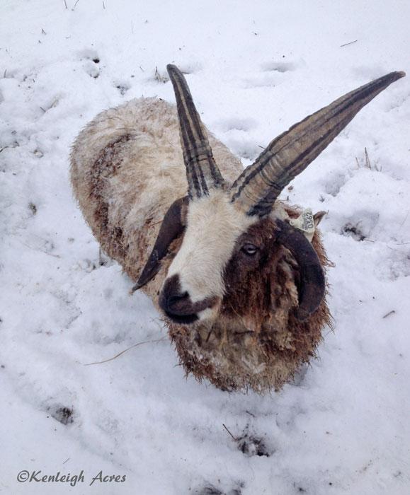 web-Snow-sheep-4