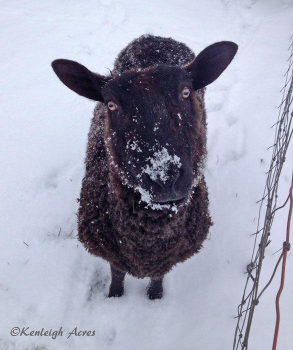 web-Snow-sheep-5