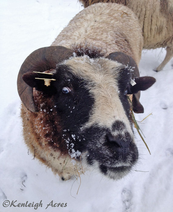 web-Snow-sheep-7
