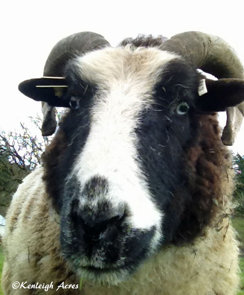web-sheep-selfie-1