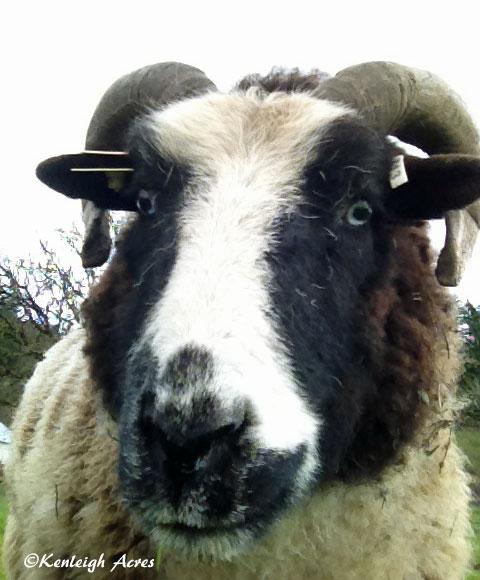 web-sheep-selfie-1