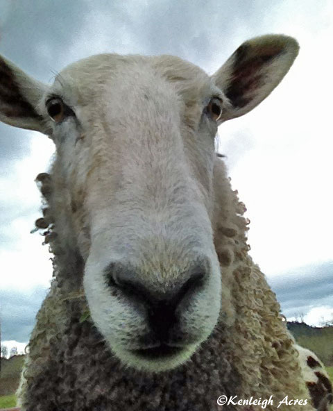 web-sheep-selfie-2