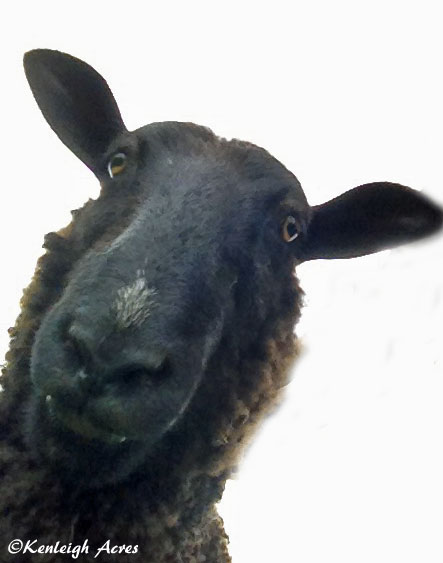 web-sheep-selfie-5
