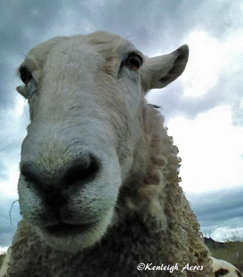 web-sheep-selfie-6