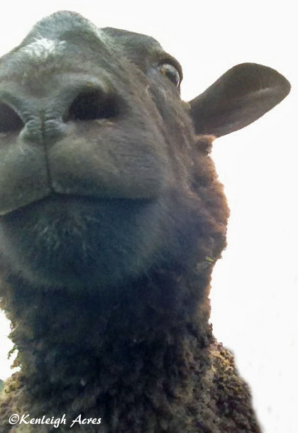 web-sheep-selfie-7