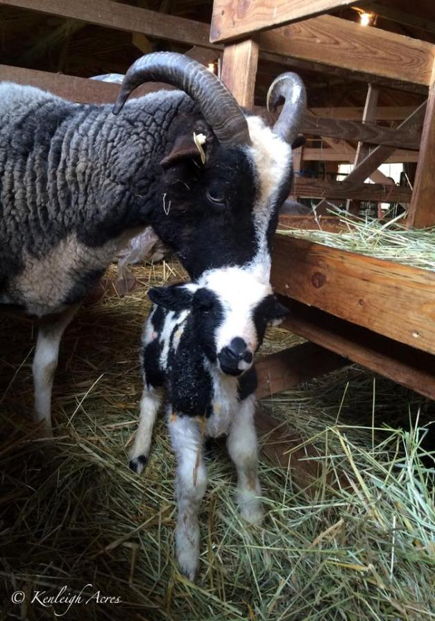 Infiniti and lamb