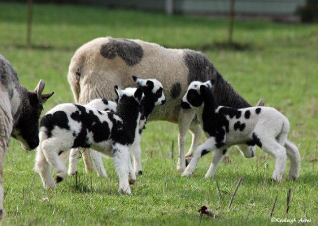 web-lambs